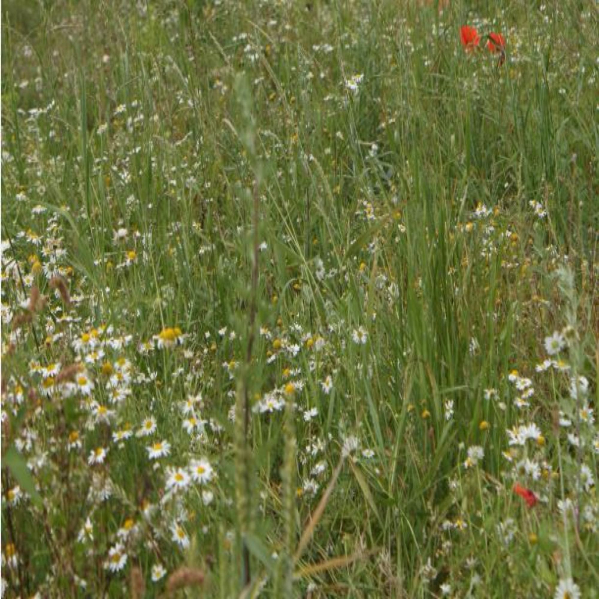 Annual Wildflower Seeds
