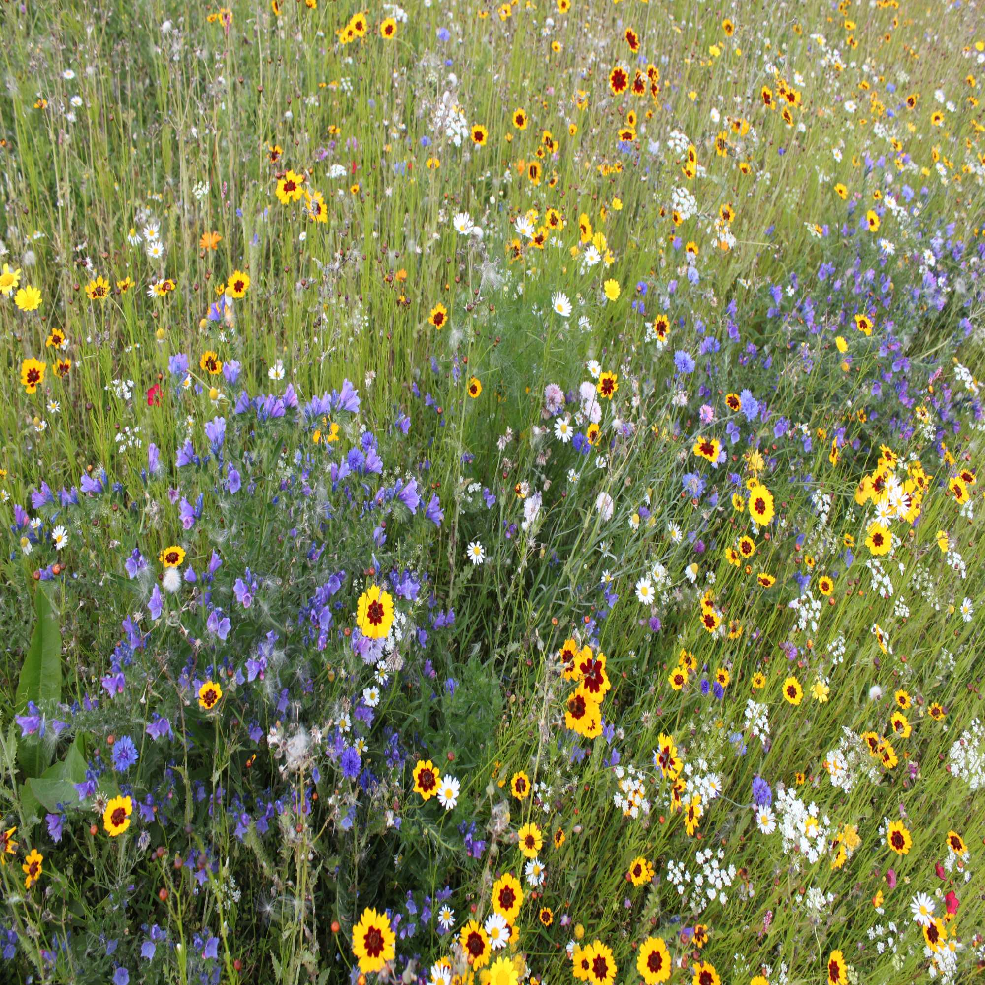 Impact Fields Of Gold Perennial Mix Wildflower Seeds Green Tech