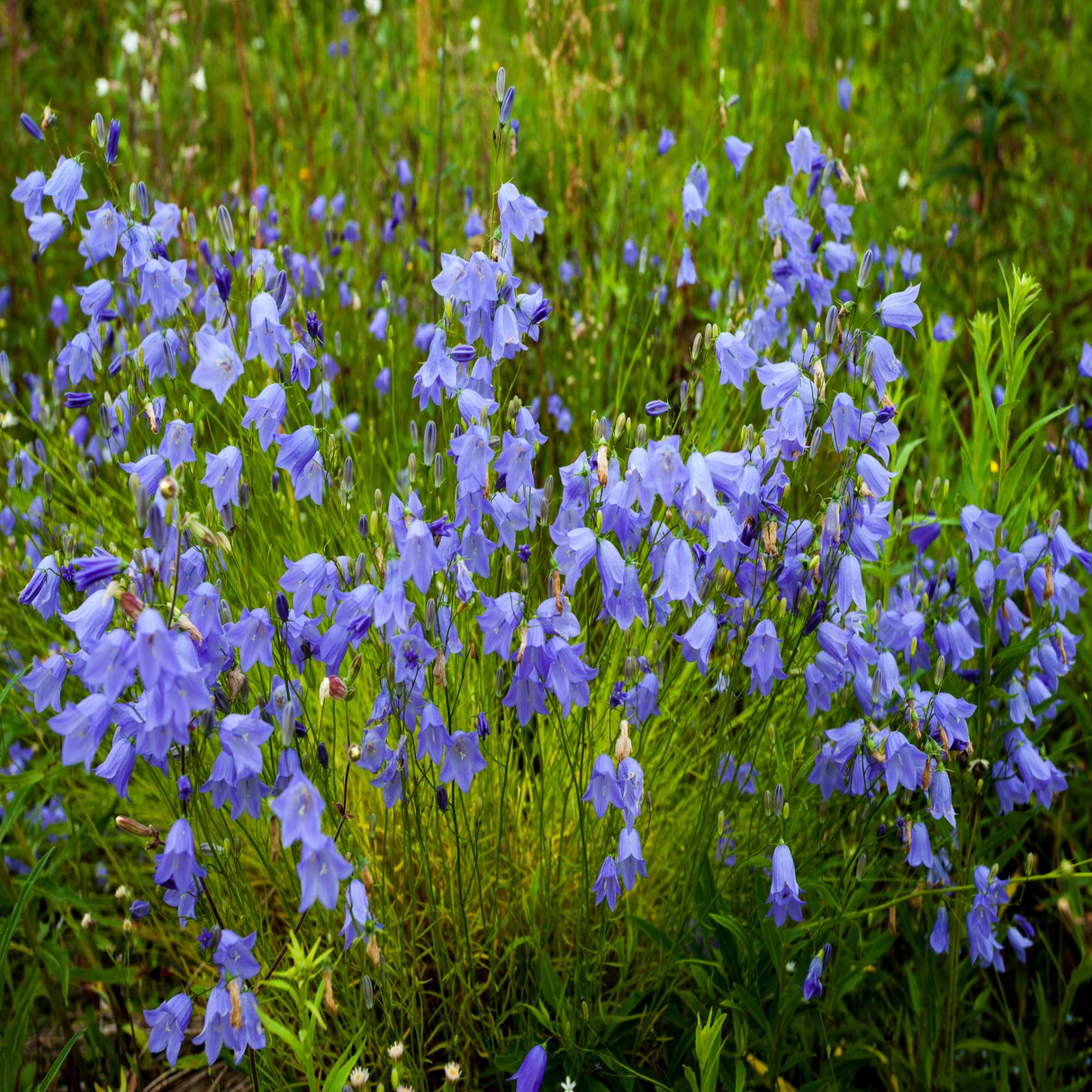Blue Wildflowers & Seeds