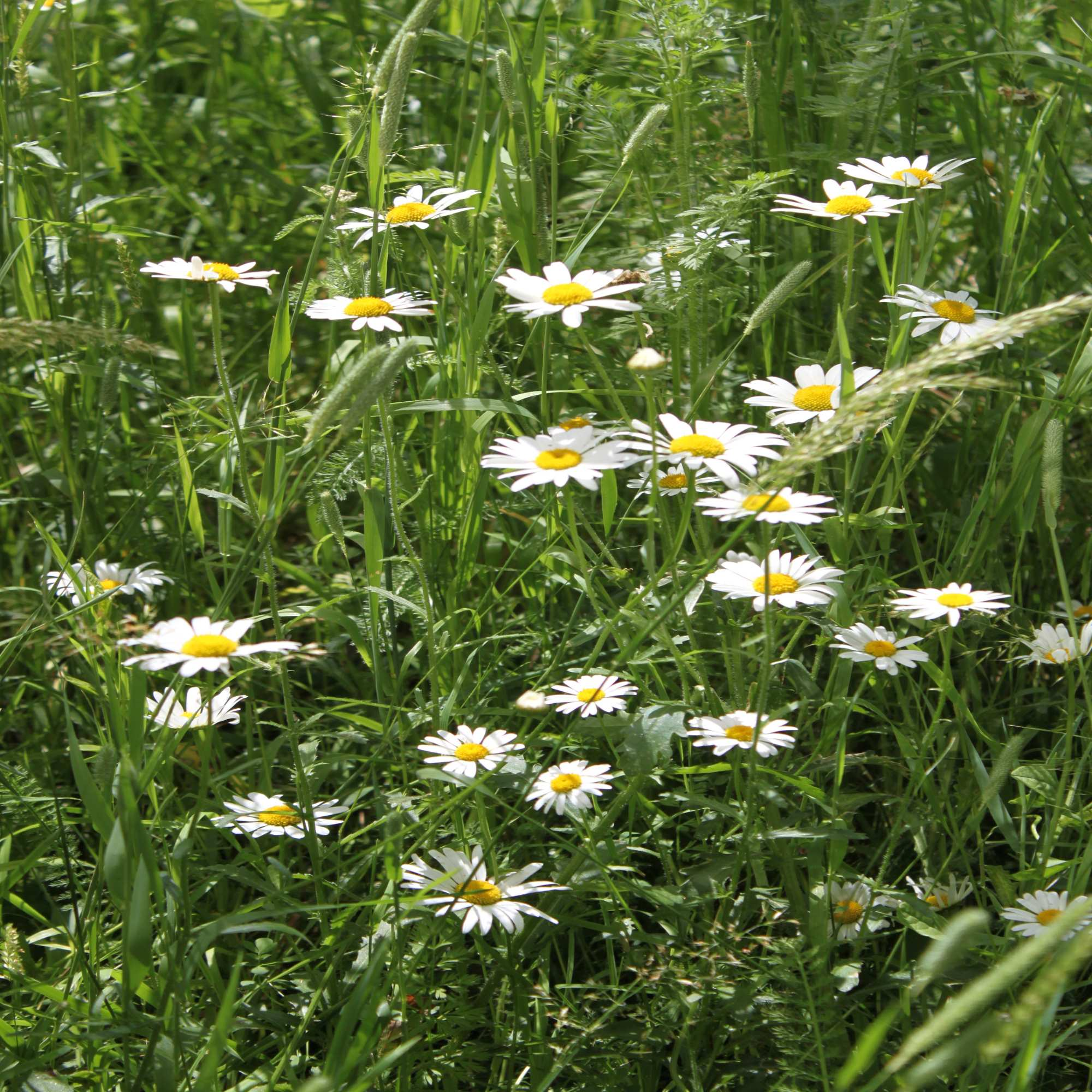 Oxeye Daisy Wildflower Seed Our Wildflower Ranges