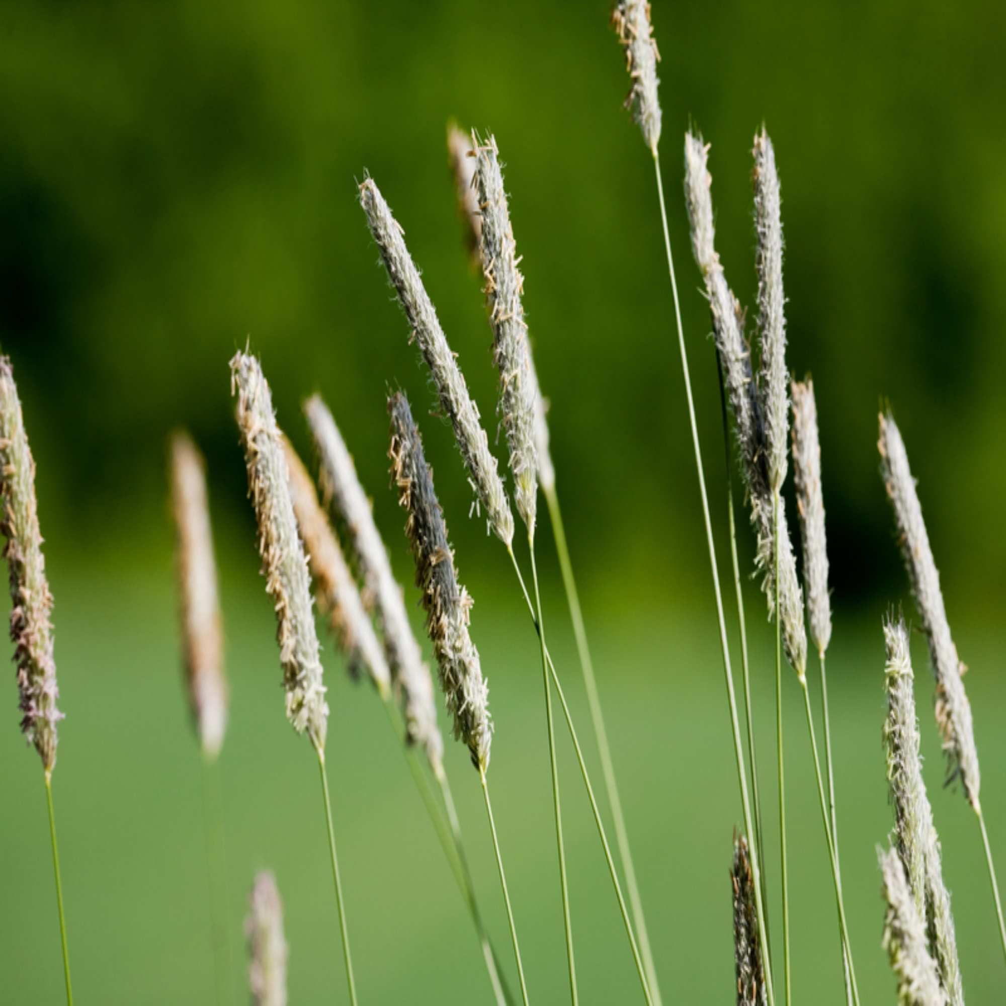 timothy grass wildflower seed