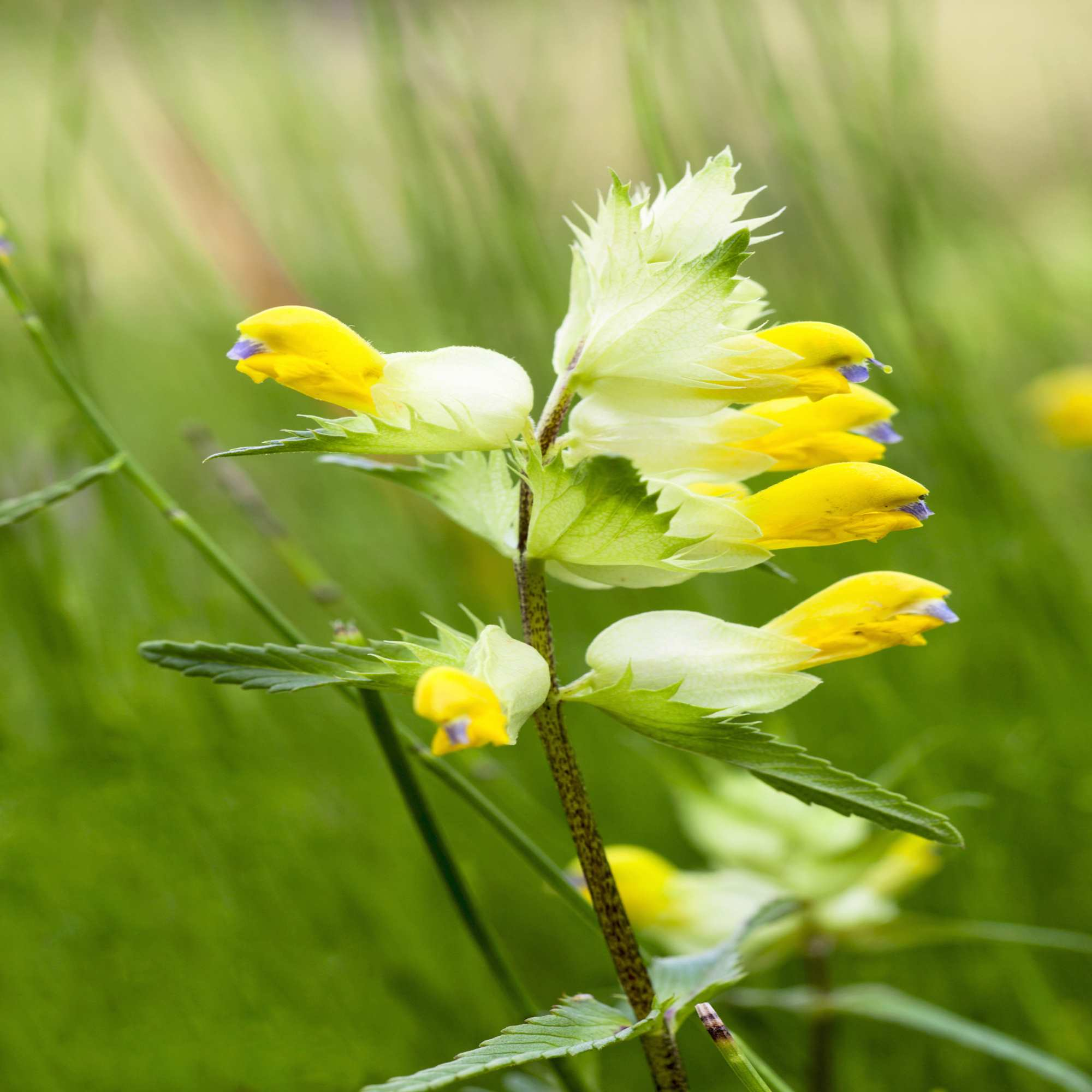 Yellow Rattle Wildflower Seed Our Wildflower Ranges Green Tech